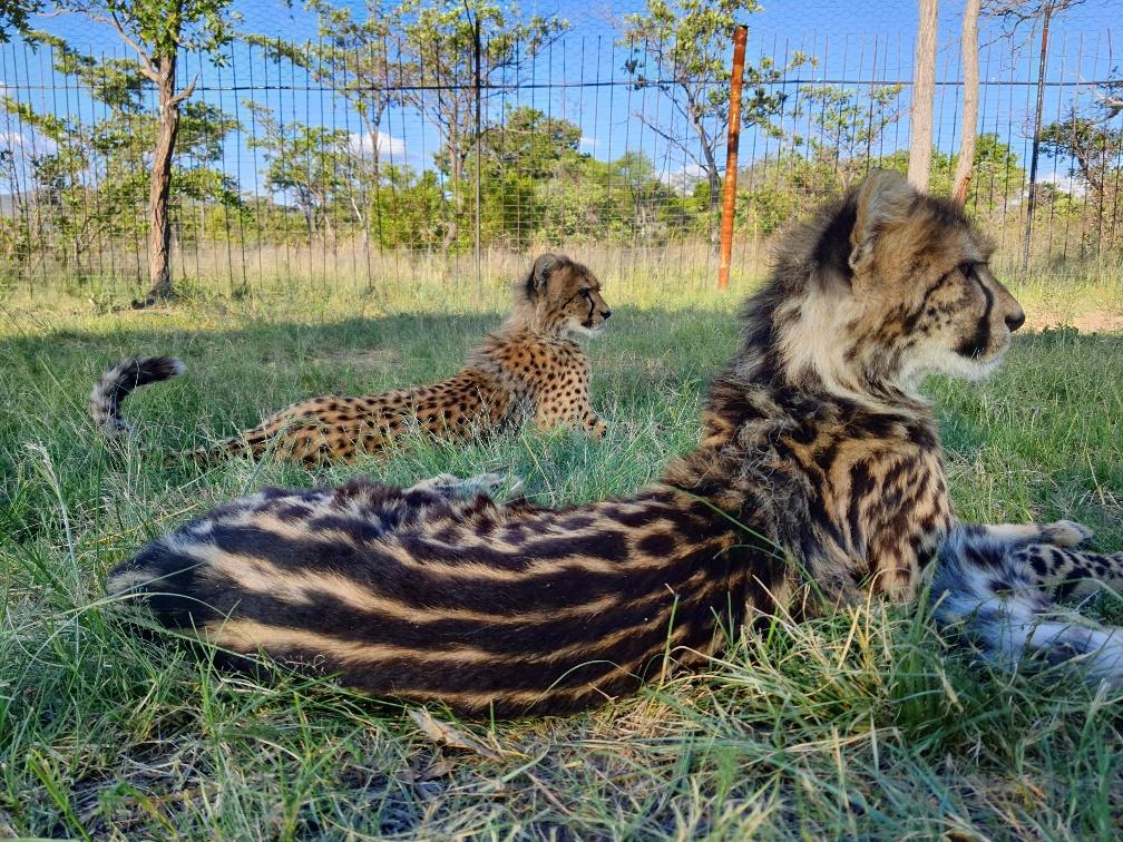 Leerlingenraad steunt luipaarden met koekjesverkoop
